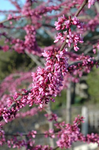 MN Single Strain Redbud> Cercis canadensis 'MN Strain'> Landscape Ready 7 gallon Container by Grimm's Gardens