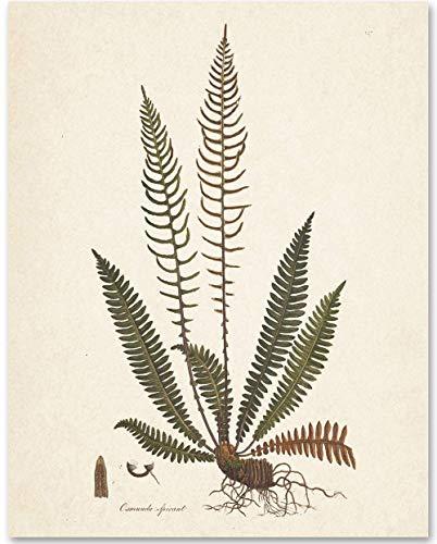 Fern Osmunda Botanical Ilustration - 11x14 Unframed Art Print - Makes a Great Gift Under $15 for Nature Lovers