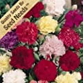 """500 Flower Seeds, Carnation """"Chabaud Mix"""" (Dianthus caryophyllus) Seeds By Seed Needs"""