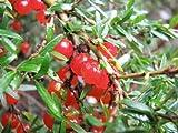 MOUNTAIN CURRANT BUSH (Coprosma nitida) 20 seeds