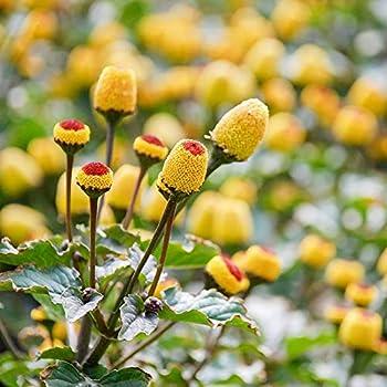 Amazon.com: Outsidepride Chia Planta semillas de hierba ...