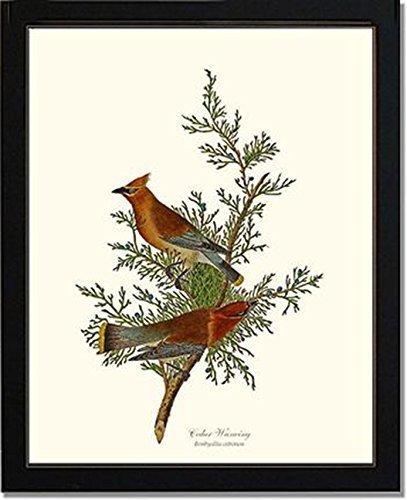 Bird Print Vintage Audubon Art - Cedar Waxwing - Ready to Frame 5x7 8x10 11x14