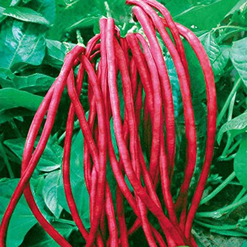 Long Bean - Long Bean Seeds 10g Snake/Yard-Long Asparagus Bean Red Noodle Pole Bean Garden Vegetable Organic Green Fresh Chinese Seeds for Planting Outside Door (Long Bean Seeds(Red))