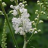 Black Cohosh Seeds (Cimicifuga racemosa) 50+ Rare Medicinal Herb Seeds