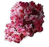 """Peppermint Lace Crape Myrtle - Lagerstroemia indica """"Nana"""" 2""""- 4"""" Tall - Healthy Two Gallon Potted Plant - 1 plant by Growers Solution"""
