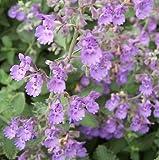 Walker's Low Catmint Perennial - Nepeta faassenii - Live Plant - Quart Pot