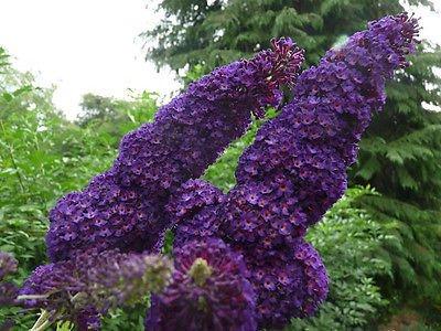 1 Buddleia davidii 'Black Knight' 1-2ft tall in 2L pot Buddleja Butterfly Bush 3fatpigs® beechwoodtrees 3fatpigs®