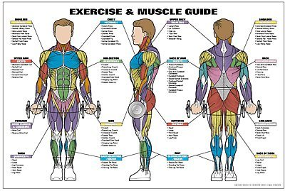 amazon com exercise and male muscle guide laminated fitness poster