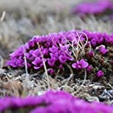 100 Seeds - Saxifraga Purple Robe Flower Seeds (Saxifraga Arendsii)