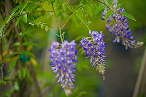 BLUE MOON WISTERIA VINE - FRAGRANT FOOT LONG FLOWERS - ATTRACTS HUMMINGBIRDS - 2 - YEAR PLANT by Japanese Maples and Evergreens (Image #5)
