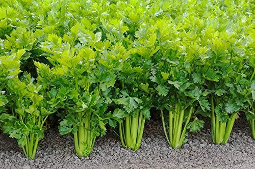 Celery Seed, TENDERCRISP, 25+ Seeds, Heirloom, Organic, Non GMO, Celery -