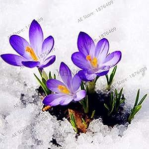 100pcs / bag púrpura azafrán plantas Semillas Las flores del jardín de la semilla, Perenne Bonsai Balcón Flor, fácil de crecer 3
