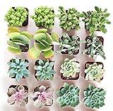 Shop Succulents   Premium Pastel Live