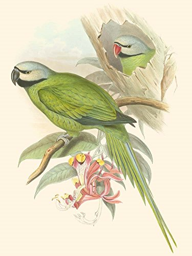 (Small Birds of Tropics II by John Gould Art Print, 8 x 10 inches)