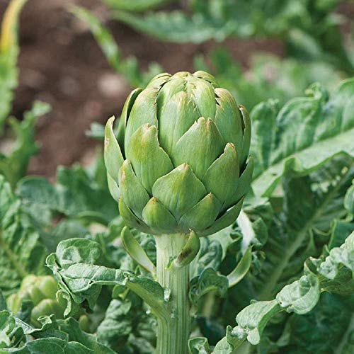 David's Garden Seeds Artichoke Imperial Star 2120 (Green) 25 Non-GMO, Open Pollinated Seeds (Best Ground Cover To Choke Out Weeds)