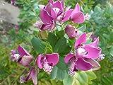 Polygala Myrtifolia 10 Seeds, Milkwort Sweet Pea Shrub / Myrtle-leaf Bush