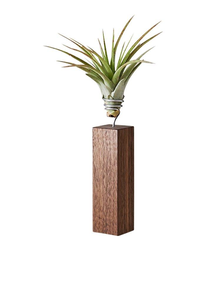 EVRGREEN Luftpflanzen Tisch-Deko Tillandsie mit Design Nuss-Baum-Holz Halter Pflegeleichte Pflanze für Innen - XL