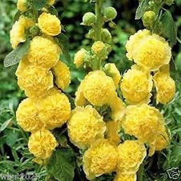 Amazon 50 hollyhock seeds golden yellow hollyhock large 50 hollyhock seeds golden yellow hollyhock large fully double yellow flowers mightylinksfo