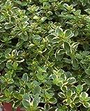 Thymus pulegioides 'Foxley' Thyme