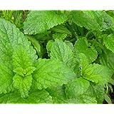 Lemon Balm Herb 100 Seeds - GARDEN FRESH PACK!