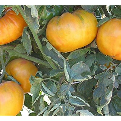 Mammoth German Gold Tomato Seeds (50 Seeds) : Garden & Outdoor