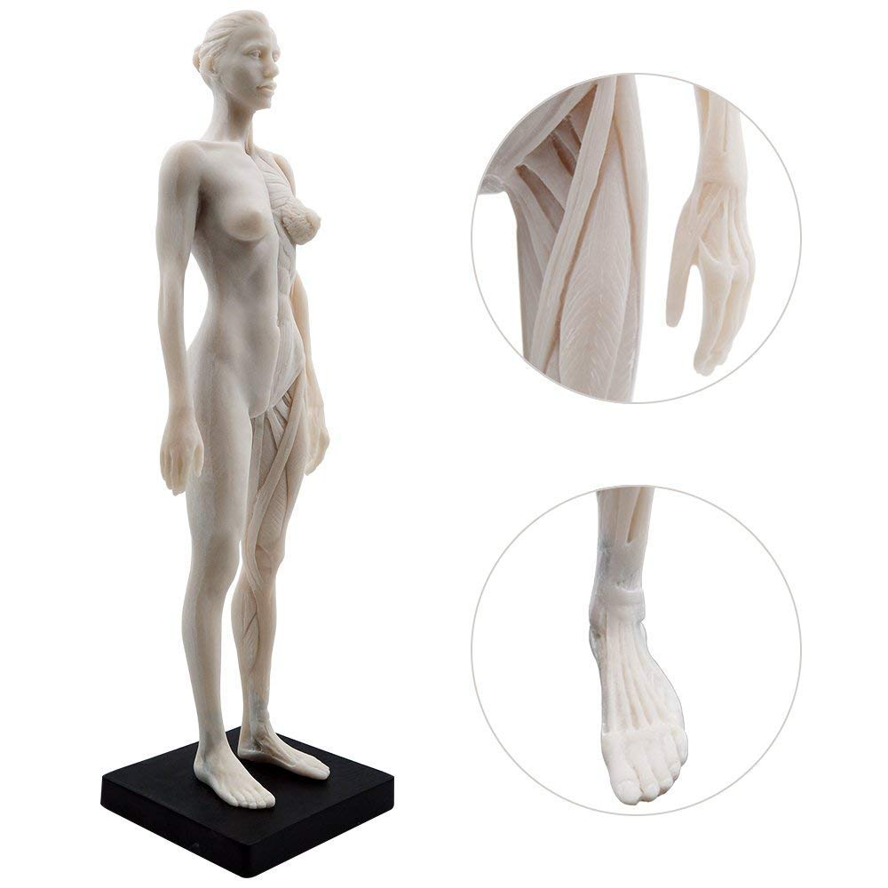 Amazon Female Anatomy Figure 11 Inch Anatomical Reference For