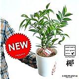 LAND PLANTS 縁結びの木 梛(ナギ) 白色プラスチック鉢 5号サイズ 熊野三山の御神木