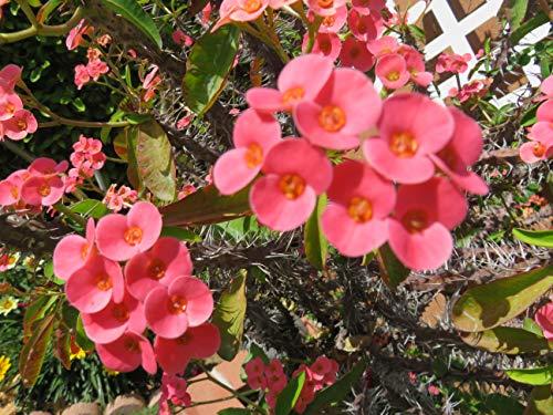 10 Fresh Cutting Euphorbia milii Crown of Thorns Mini Pink Flower 6
