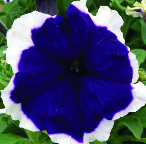 Petunia Frost 30 Pelleted Seeds (Blue)