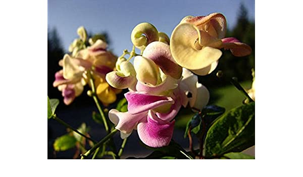Corkscrew Vine or Snail VineVigna caracallaSweet Fragrance8 Seeds