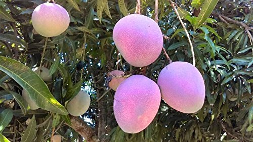 The California Food Shop All Natural Unsweetened Dried Mangoes 30 oz (850 gr)Pack Tropical Dried Mango Fruits Healthy and Delicious Snack No Added Sugar or Chemicals by The California Food Shop (Image #6)