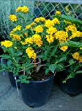 New Gold Flowering Lantana One Gallon Plant