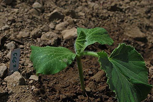 10 Seeds Pumpkin/pã¢tisson Yellow Patty pan