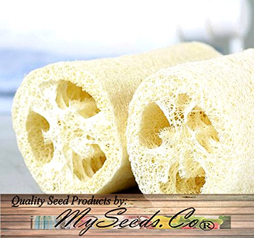 - BIG PACK - (100) LUFFA Luffa cylindrica Loofah SEEDS - Dishcloth or Luffa Gourd Fruits Grow to Approx. 2' - Non-GMO Seeds by MySeeds.Co (BIG PACK - Luffa Gourd Reg)
