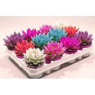 200Pcs Mixed Flower Seeds Rare Beauty Succulent Easy to Grow Mini Potted Garden : Garden & Outdoor