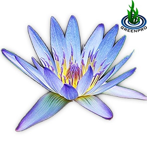 Live Aquatic Plant Nymphaea Geena Blue Tropical Water Lilies Tuber for Aquarium Freshwater Fish Pond by (Lily Water Lily Pots)
