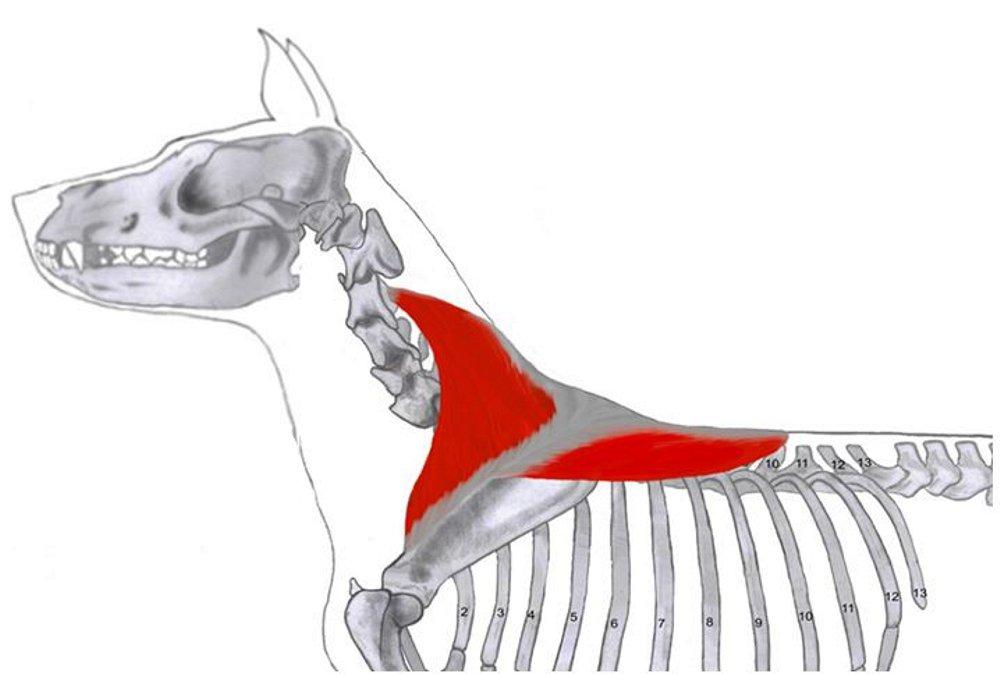 Lernkarten - Muskulatur des Hundes - Physiotherapie: Amazon.de ...