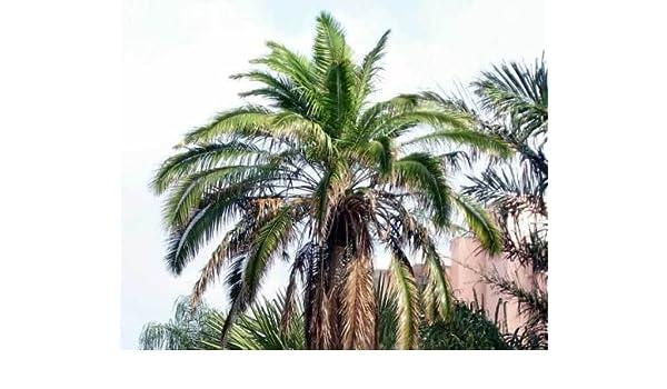 Phoenix rupicola CLIFF semillas de palmera datilera!: Amazon.es: Jardín