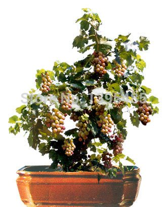 grapes tree - 6