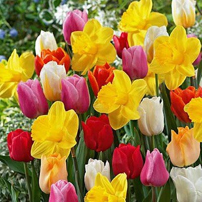 100 All in One Mixture - 50 Tulips Bulbs and 50 Daffodil Bulbs a Colorful Mix of Tulips and Popular Dutch Master Daffodils! by Daylily Nursery