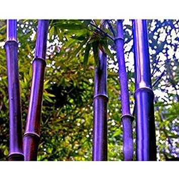 Rare Lila Bambus Samen Ziergarten Glücksbambus Garten Pflanzen Samen    10pcs / Lot