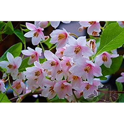 Pink Japanese Snowbell Tree - Fragrant Flowers 'Pink Chimes' 1 - Year Live Plant : Tree Plants : Garden & Outdoor