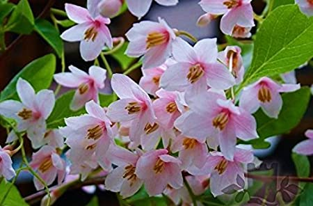 Amazon Com Pink Japanese Snowbell Tree Fragrant Flowers Pink