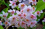 Pink Japanese Snowbell Tree - Fragrant Flowers 'Pink Chimes' 1 - Year Live Plant