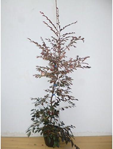 トキワマンサク(赤葉赤花) 樹高1.0m前後 18cmポット 常盤満作 ときわまんさく 生垣用 苗木 植木 苗 庭木 生け垣 1本 1