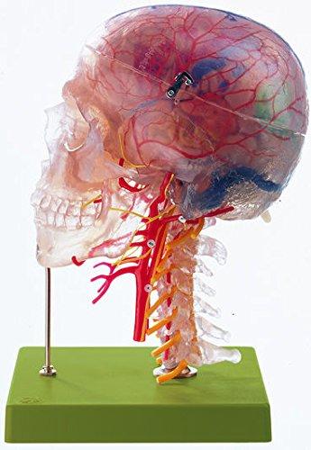 (Somso Neuroanatomy Head Model)