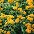 Outsidepride Butterfly Milkweed Asclepias Tuberosa Hello Yellow Plant Seed 50 Seeds