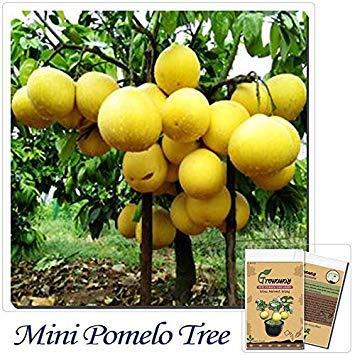 vonly Bonsai-Frucht 10pcs Hardy Mini Pummello Pomelo Pomello Baum Topfpflanzen Dwarf kao Pan Grape Fruit Selten