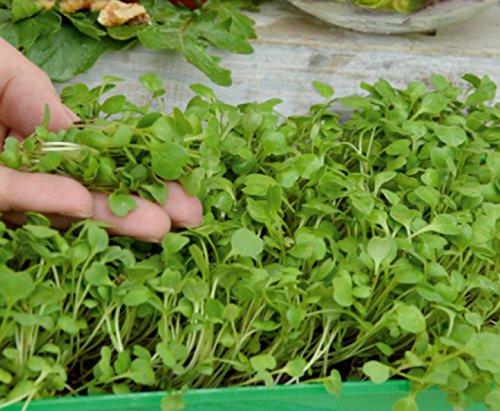 hojas j/óvenes con un sabor excepcional r/úcula Microgreens Cohete semilla