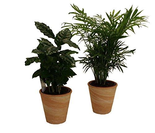 Pflanzenservice 890904 Kaffee Zimmerpalmen Indoor Duo mit Dekotopf, terrakotta